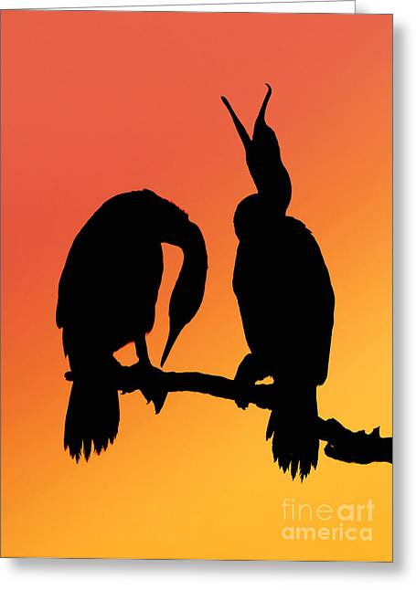 Cackle Greeting Cards - Cormorants Greeting Card by Novastock