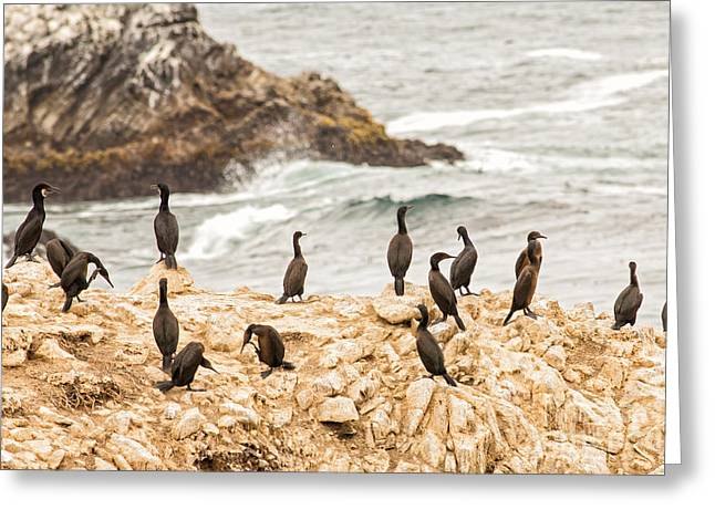 Point Lobos State Greeting Cards - Cormorants of Bird Island in Point Lobos State Park  Greeting Card by Natural Focal Point Photography