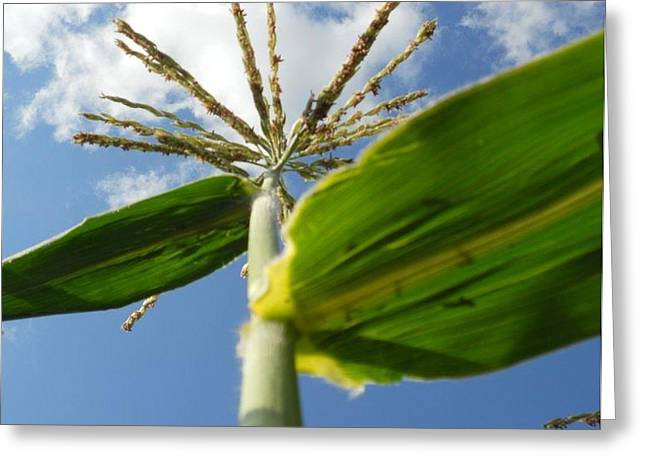 Corn Pyrography Greeting Cards - Corn And Blue Sky Above Greeting Card by Roxanne Luckman