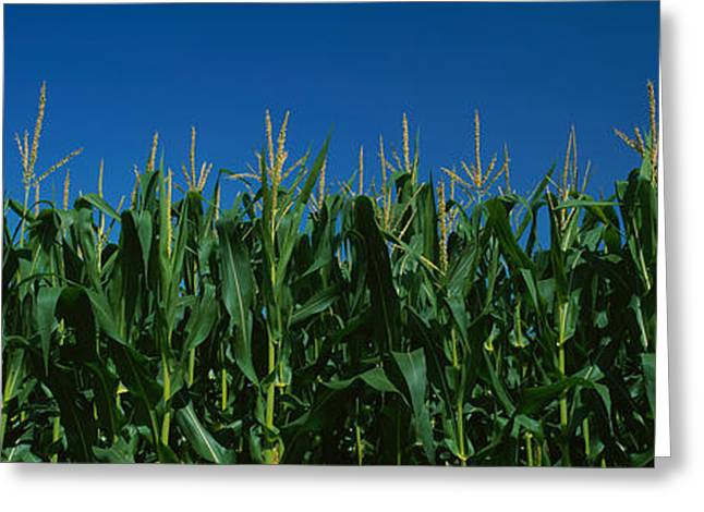 Western New York Greeting Cards - Corn Crop In A Field, New York State Greeting Card by Panoramic Images
