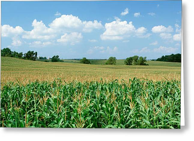 Wyoming Photography Greeting Cards - Corn Crop In A Field, Wyoming County Greeting Card by Panoramic Images