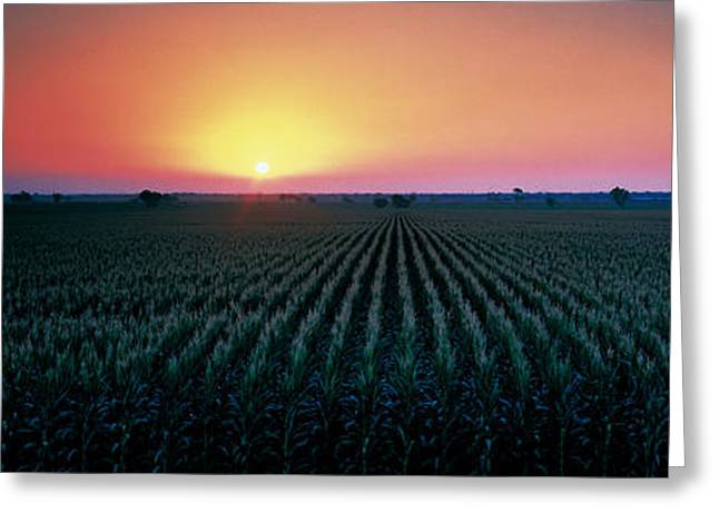 Colorful Photography Greeting Cards - Corn Field At Sunrise Sacramento Co Ca Greeting Card by Panoramic Images