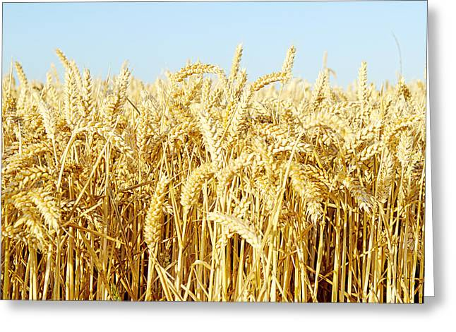 Corn Greeting Cards - Corn Field Greeting Card by Chevy Fleet