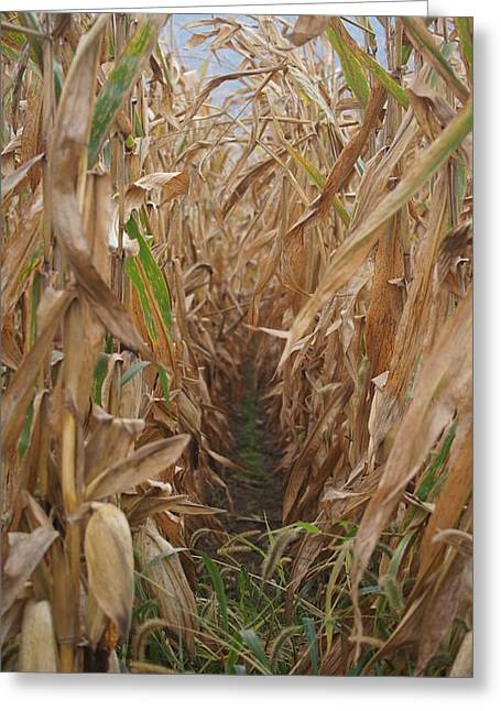 Biological Greeting Cards - Corn Field Greeting Card by Crystal Harman