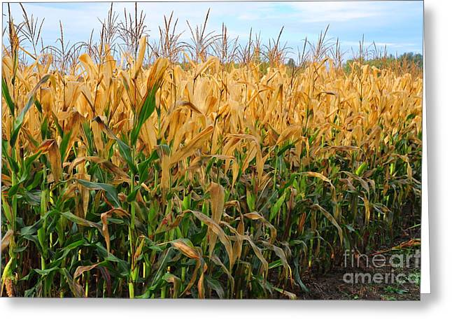 Harvest Time Greeting Cards - Corn Harvest Greeting Card by Terri Gostola