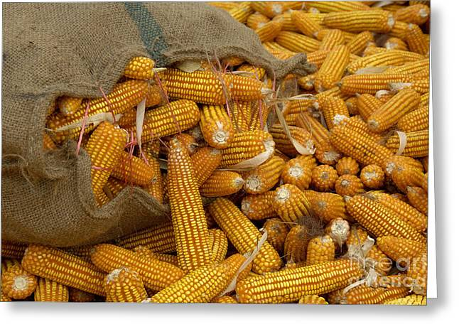 The Agricultural Life Greeting Cards - Corn Greeting Card by Ingo Schulz