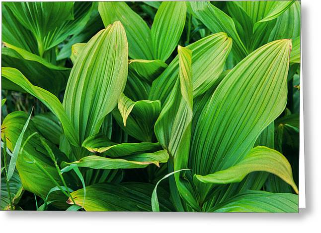 False Hellebore Greeting Cards - Corn Lilies Glacier National Park Greeting Card by Rich Franco