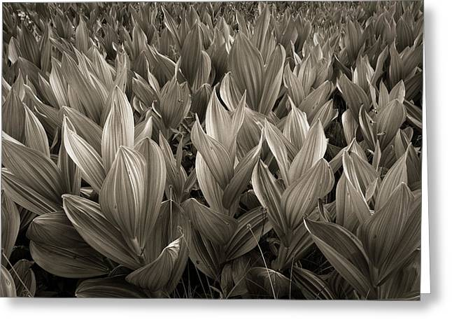 Little Cottonwood Canyon Greeting Cards - Corn Lilies Greeting Card by Rory Wallwork