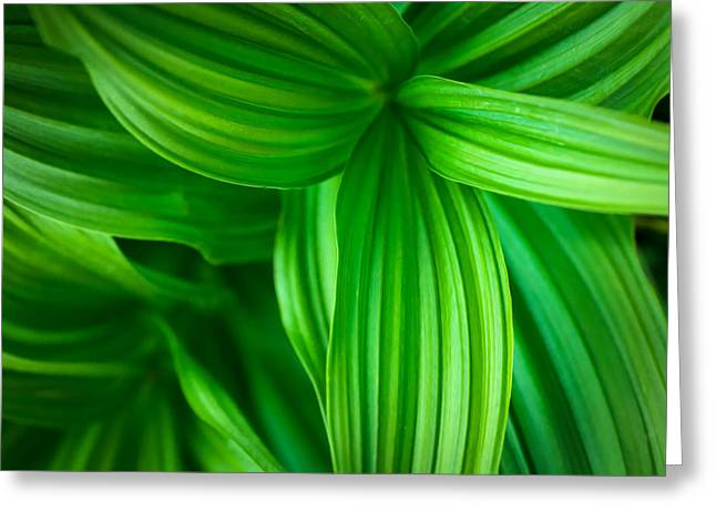 False Hellebore Greeting Cards - Corn Lily Glacier National Park Montana Greeting Card by Rich Franco