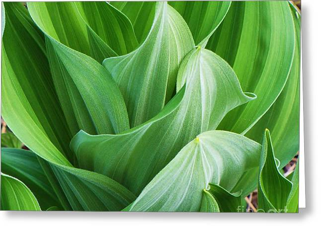 False Hellebore Greeting Cards - Corn Lily Greeting Card by Michele Penner