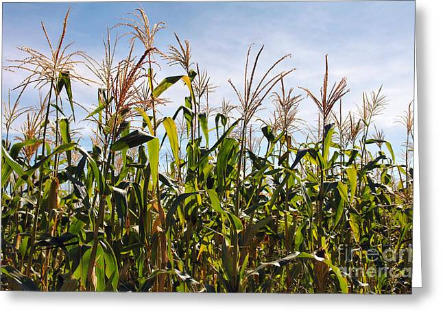 Biological Greeting Cards - Corn Production Greeting Card by Carlos Caetano