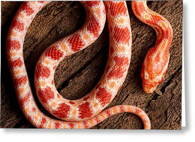 Corn Snake P. Guttatus On Tree Bark Greeting Card by David Kenny