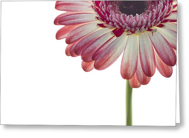 Daisy Greeting Cards - Cornered Gerber Greeting Card by Rebecca Cozart