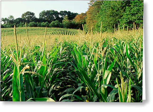 Cultivation Greeting Cards - Cornfield, Baltimore County, Maryland Greeting Card by Panoramic Images