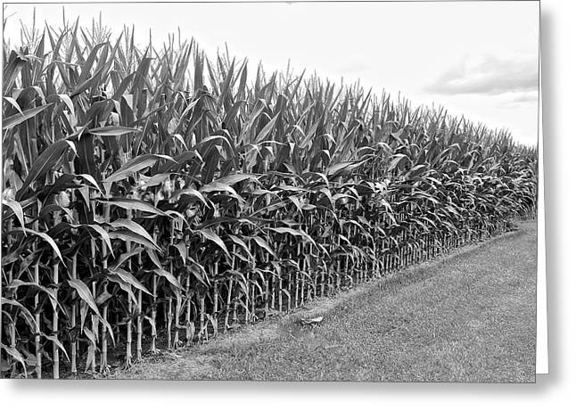 Farmers Field Greeting Cards - Cornfield Black and White Greeting Card by Frozen in Time Fine Art Photography