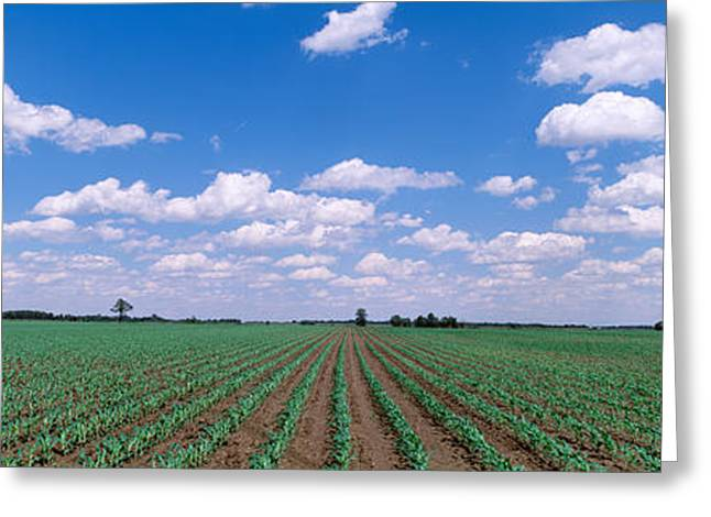 Cultivation Greeting Cards - Cornfield, Marion County, Illinois, Usa Greeting Card by Panoramic Images