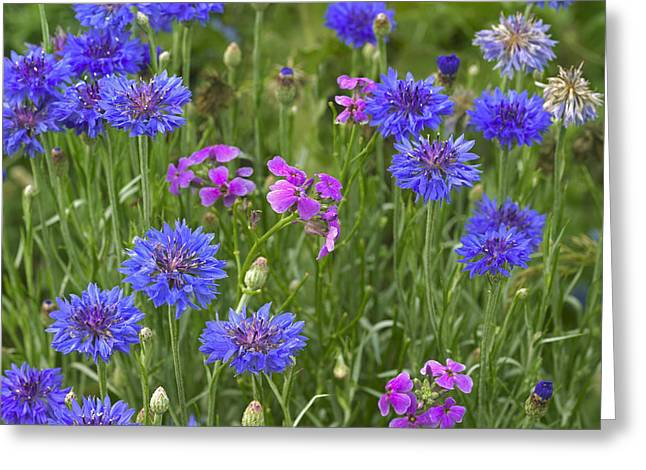 Phlox Greeting Cards - Cornflower Centaurea Cyanus And Pointed Greeting Card by Tim Fitzharris