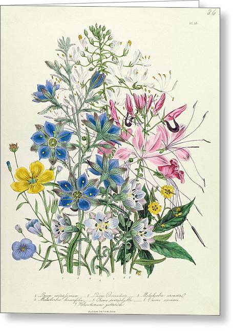 Flower Blooms Drawings Greeting Cards - Cornflower Greeting Card by Jane Loudon