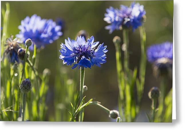 Sunlight On Flowers Greeting Cards - Cornflowers _centaurea Cyanus__ Upper Greeting Card by Carl Bruemmer