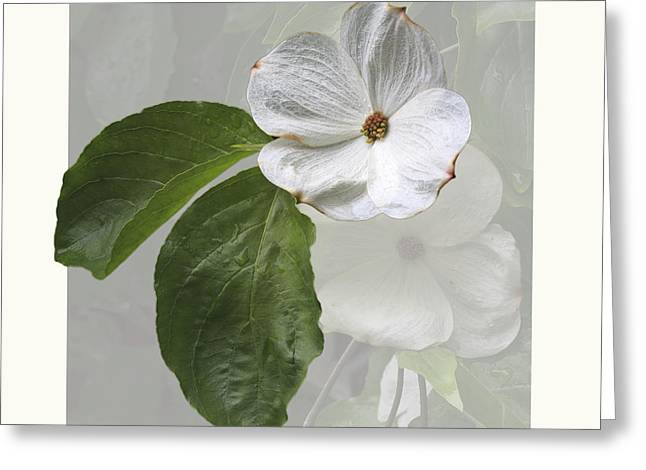 Cornus 'Eddie's White Wonder' Greeting Card by Saxon Holt