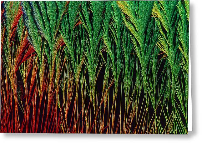 Hydrocortisone Greeting Cards - Cortisol crystals, light micrograph Greeting Card by Science Photo Library