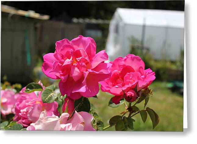 Photographs With Red. Greeting Cards - Cosmic Pink Roses 1 Greeting Card by Ron McMath