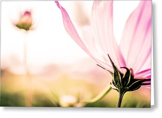 Leicht Greeting Cards - Cosmo blossom 2 Greeting Card by Annette Hanl