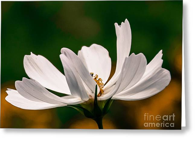 Whilte Flower Greeting Cards - Cosmos Beauty Greeting Card by Julie Chambers
