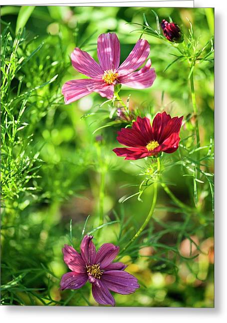 Cosmos Bipinnatus Flowers Greeting Card by Maria Mosolova