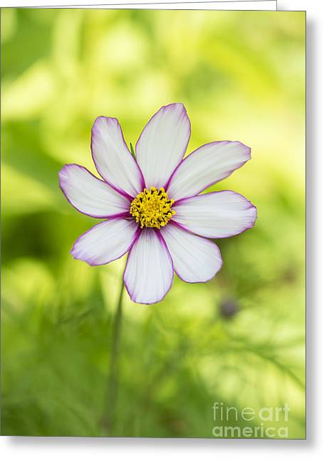 Asters Greeting Cards - Cosmos Candy Stripe Greeting Card by Tim Gainey