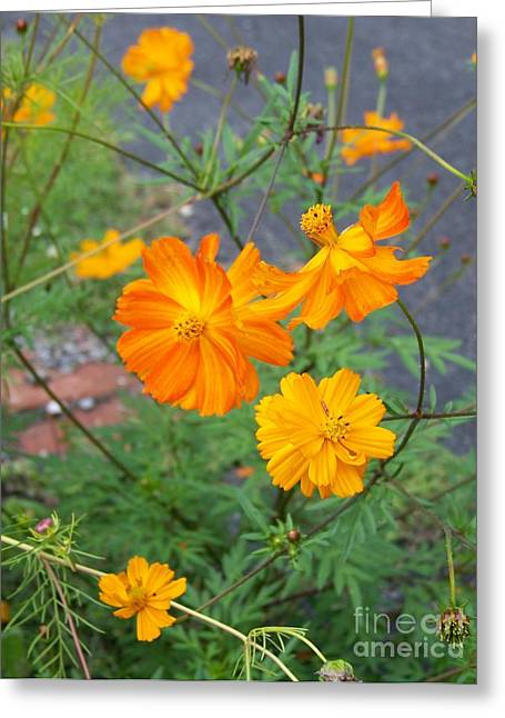 Flower Blossom Greeting Cards - Cosmos Greeting Card by Helene Guertin