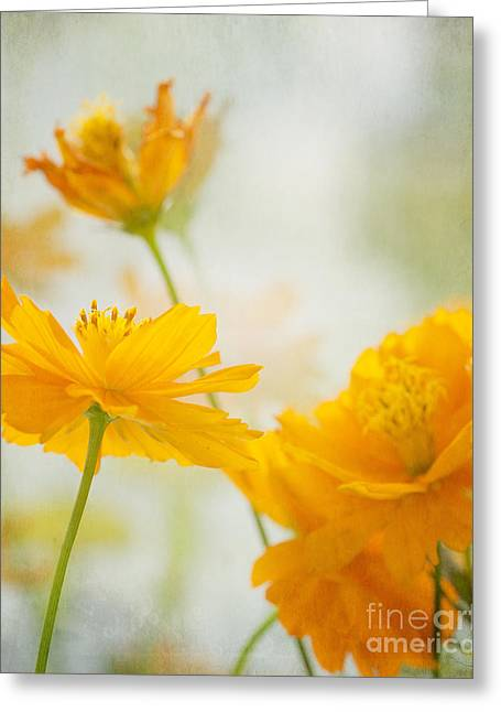 Tangy Photographs Greeting Cards - Cosmos Greeting Card by Ivy Ho