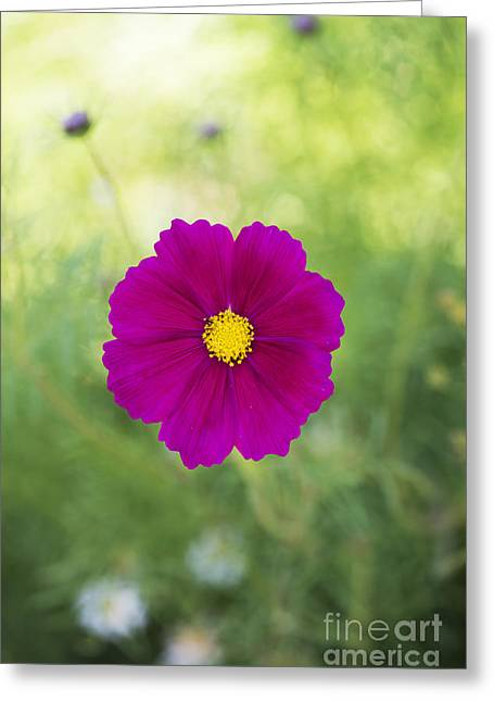 Aster Greeting Cards - Cosmos Greeting Card by Tim Gainey
