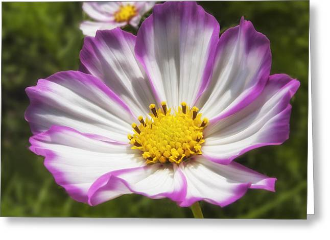 Artist Photographs Greeting Cards - Cosmos Greeting Card by Veikko Suikkanen