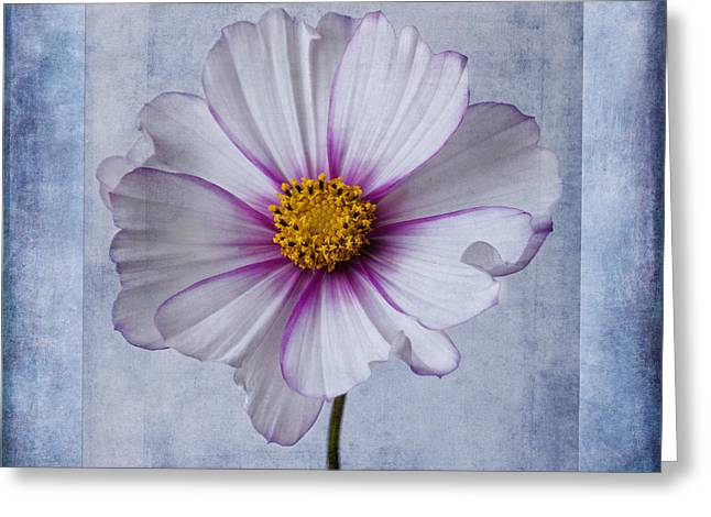 Aster Greeting Cards - Cosmos with textures Greeting Card by John Edwards