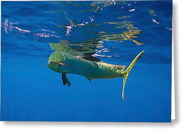 Bull Dolphin Greeting Cards - Costa Mahi Greeting Card by Monique Comfort