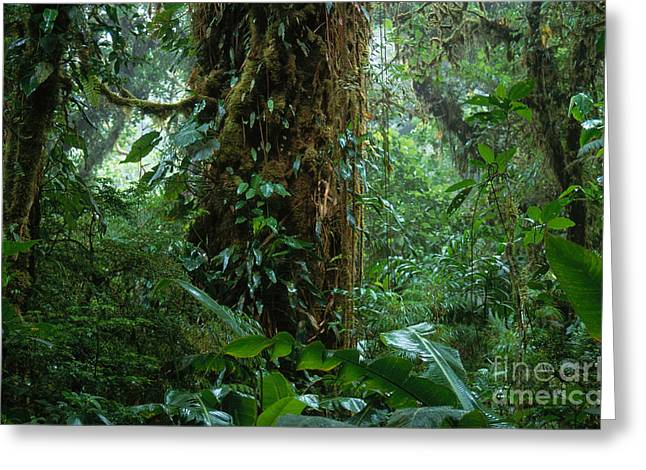 Moist Greeting Cards - Costa Rican Cloud Forest Greeting Card by Art Wolfe
