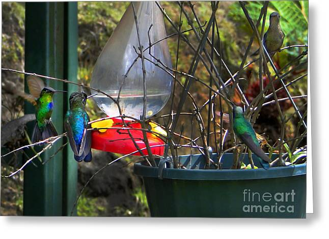 Hovering Greeting Cards - Costa Rican Hummingbirds On Volcan Irazu II Greeting Card by Al Bourassa