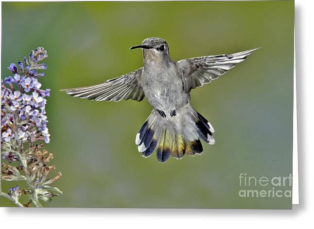 Costa Greeting Cards - Costas Hummingbird Greeting Card by Anthony Mercieca