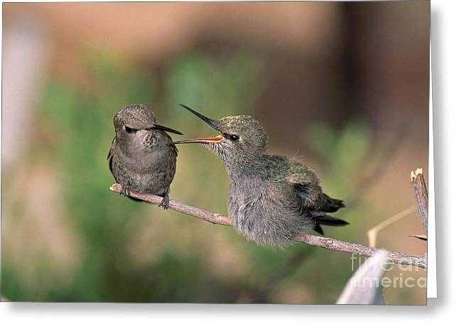 Feeds Chicks Greeting Cards - Costas Hummingbird Feeding Young Greeting Card by Anthony Mercieca