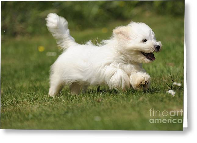 Coton Tulear Photographs Greeting Cards - Coton De Tulear Dog Greeting Card by John Daniels