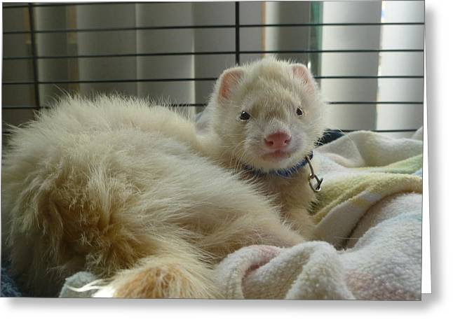White Ferret Greeting Cards - Cotter Greeting Card by Montana Wilson