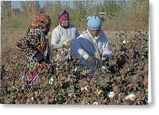 Boll Greeting Cards - Cotton boll harvesting Greeting Card by Science Photo Library