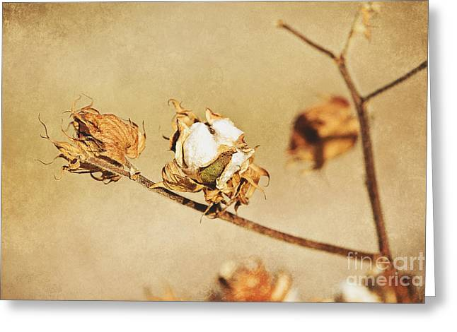 Arkansas Greeting Cards - Cotton Boll Greeting Card by Scott Pellegrin