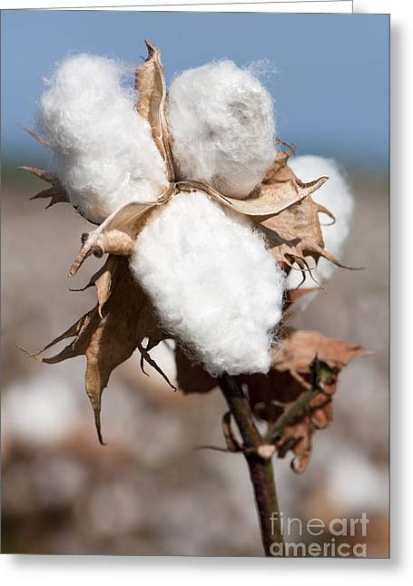 Mallow Greeting Cards - Cotton Bolls  Greeting Card by Hagai Nativ