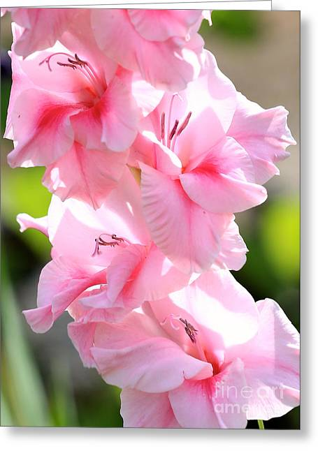 Glad Greeting Cards - Cotton Candy Gladiolus Greeting Card by Carol Groenen