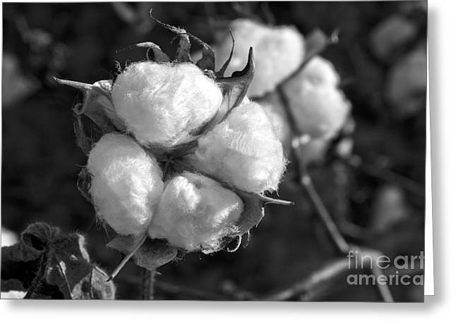 Cotton Balls Greeting Cards - Cotton Greeting Card by Debra Johnson
