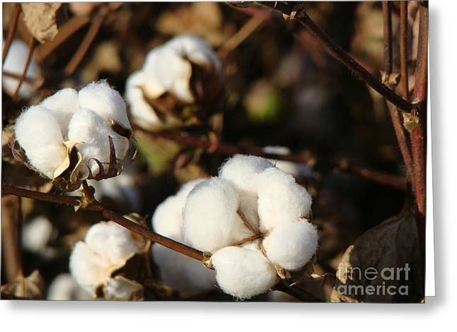 """""""cotton Pickers"""" Greeting Cards - Cotton Field Series 2014 Greeting Card by Beverly Guilliams"""