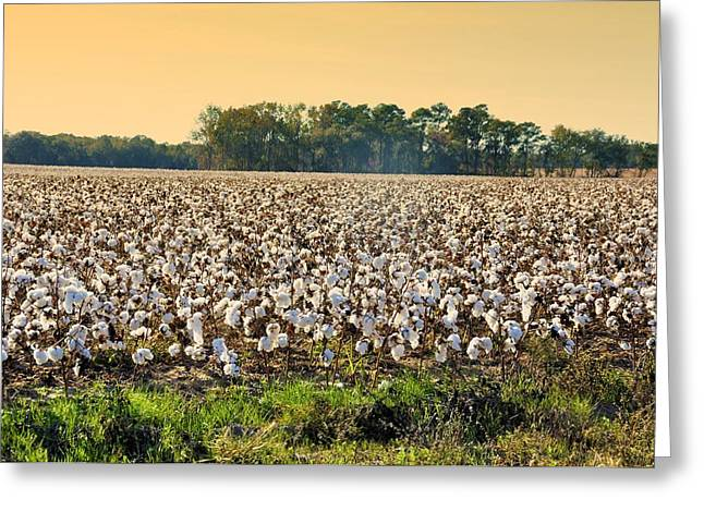 Cotton Fields Back Home Greeting Card by Jan Amiss Photography