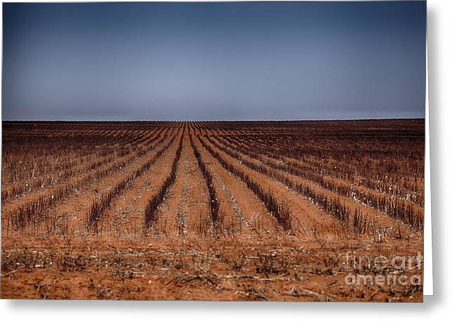 """cotton Field"" Greeting Cards - Cotton Fields-Texas Greeting Card by Douglas Barnard"